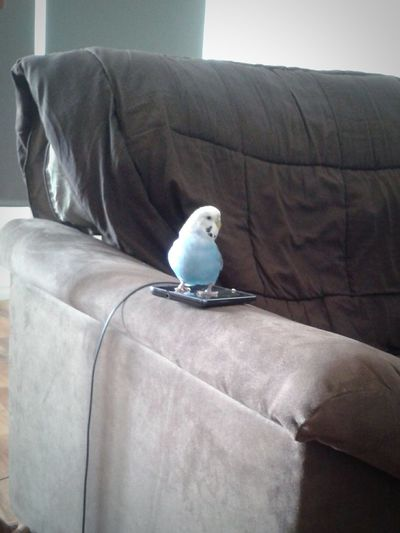 Arti my budgy! Pet Pet Photography  Budgie Parakeet Animal