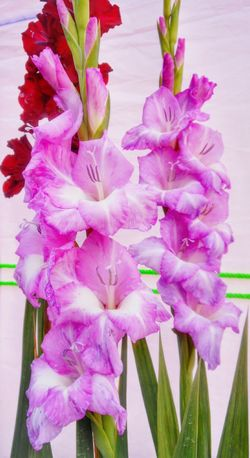 Beautiful flowers make me think how beautiful and creative was the mind of the creator that he created such amazing specimens of his design Flower Pink Color Petal Freshness Fragility Purple Nature Beauty In Nature