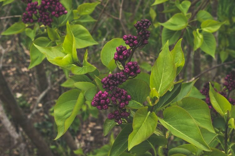 I miss spring - it makes me feel things Macro Photography Macro EyeEmNewHere Moody Mood Spring Lilacs Flowers Leaf Plant Growth Green Color Nature No People Flower Beauty In Nature Close-up Outdoors Purple Freshness