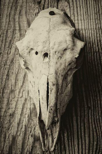Animal skull Animal Skull Animal Skull. Horns. Fun. Skull Animal Skulls Skull Art