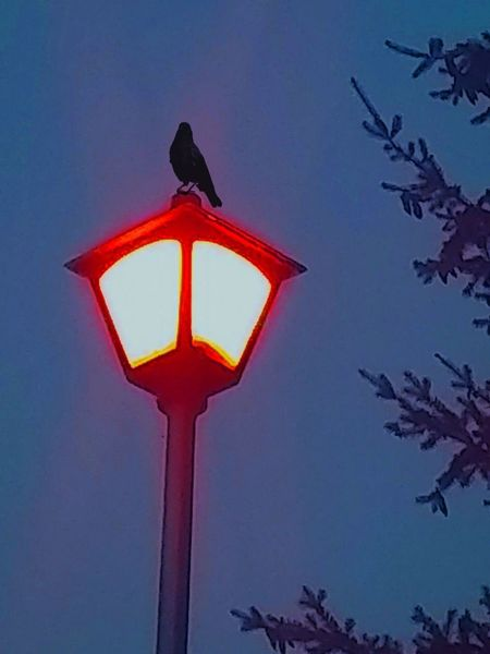 Lamppost Blackbird Bluesky Dusk Hauntingly Beautiful Loneliness Tree Parts Oregon Evenings Oregon Oregonexplored Outdoors Outdoor Photography Lamp Post Collection Evenningtime The Oregon Collection Something Blue Nightphotography Night Collection Looking Up! Crow Grandmother Crow Black Bird Perched On A Lamp Post Llit Up Detail Vibrant Color High Angle View Just Chillin' Young Bird Astronomy