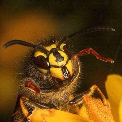Wasp... #macro #wasp #insect #improvedimage Macro Insect Wasp Improvedimage