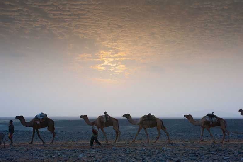 A caravan of camels at sunset in the desert of Danakil Camels Desert Beauty Dancali Desert Carovan Evening Sky Working Animal Scenics - Nature Arid Climate Salt Desert Sunset Sunset In The Desert Salt Carovan