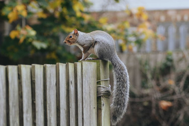Squirrel on fence outdoors