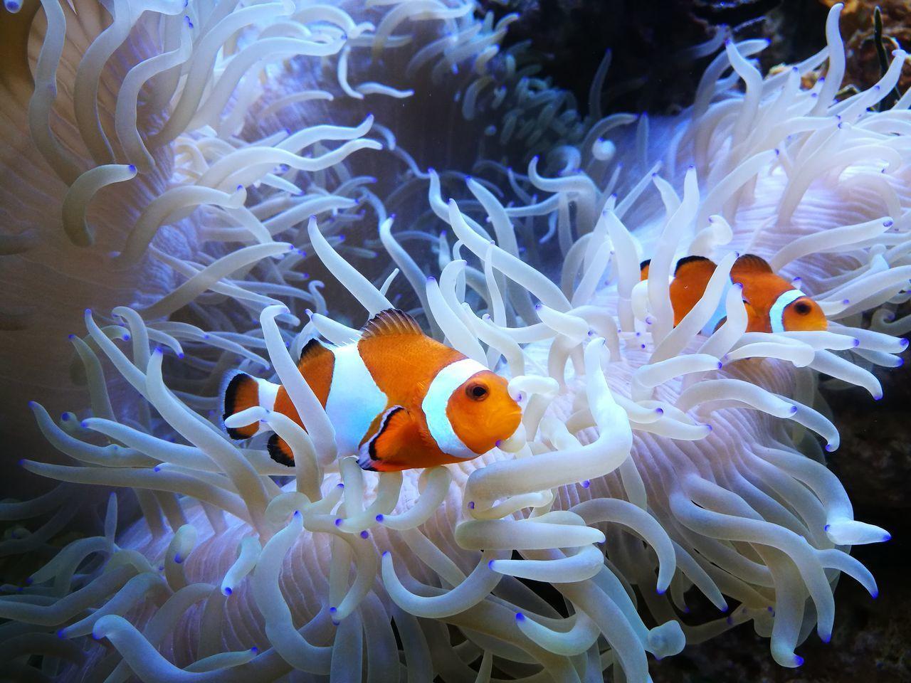 animal, animal themes, animal wildlife, animals in the wild, water, fish, underwater, clown fish, sea life, sea, swimming, no people, coral, undersea, marine, vertebrate, invertebrate, beauty in nature, orange color