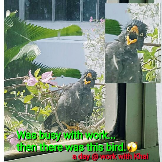 Surprise visit by a surprised bird that got me laughing so hard Khaigrace Work Office Window Myna Bird Surprised Shocked Laughing Real Hard Tampinestowncouncil
