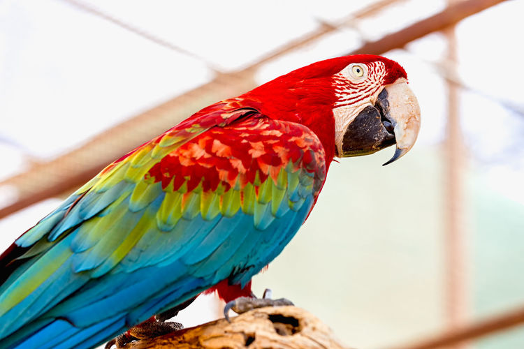 Low angle view of scarlet macaw perching on wood