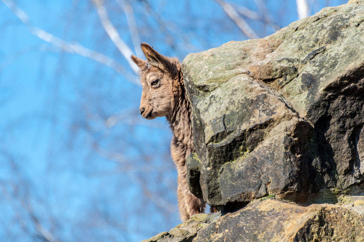 Mountain Goat at the Berlin Zoo Mountain Goat Animal Themes Animal Wildlife Animals In The Wild Beauty In Nature Close-up Day Focus On Foreground Mammal Nature No People One Animal Outdoors Rock - Object Sky Tree