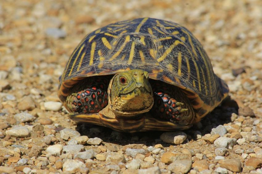 Male Kansas Box Shell Turtle in a sandy road Box Shell Bright Male Turtle Red Animal Shell Animal Wildlife Close-up Colorful Land Turtle Nature No People One Animal Outdoors Reptile Rocks Sand Tortoise Turtle Wildlife Yellow
