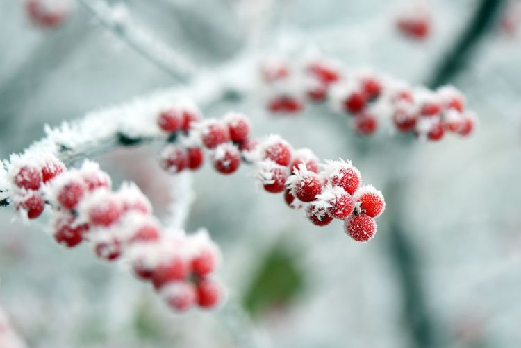 Close-Up Of Frozen Red Berries