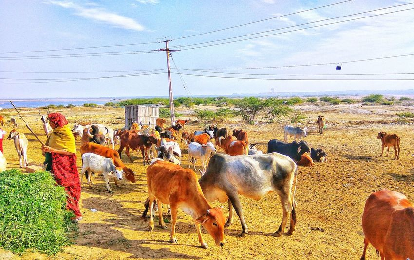 Animal Themes Mammal Large Group Of Animals Rural Scene Landscape Domestic Animals Beauty In Nature Sky Day Nature Outdoors Animal Food Lady Caretaker River Cows Animal Representation