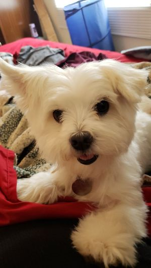 Maltese doggy friend Maltese Texas EyeEmNewHere No People Animal Animal Home Pets Dog Canine #EyeEmNewHere Pets Portrait Protruding Dog Lying Down Sitting Pet Clothing Looking At Camera Puppy Lap Dog Pampered Pets