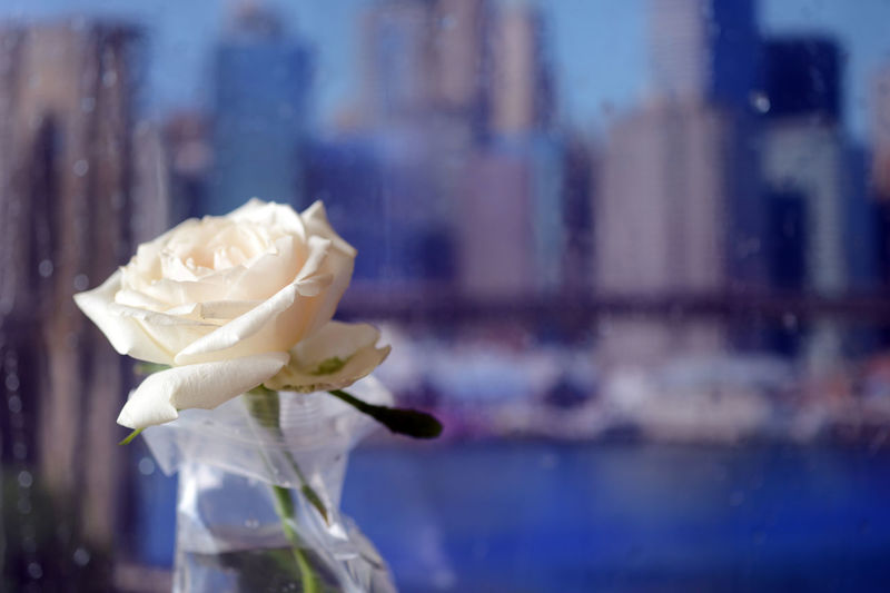 Close-up of white rose in glass