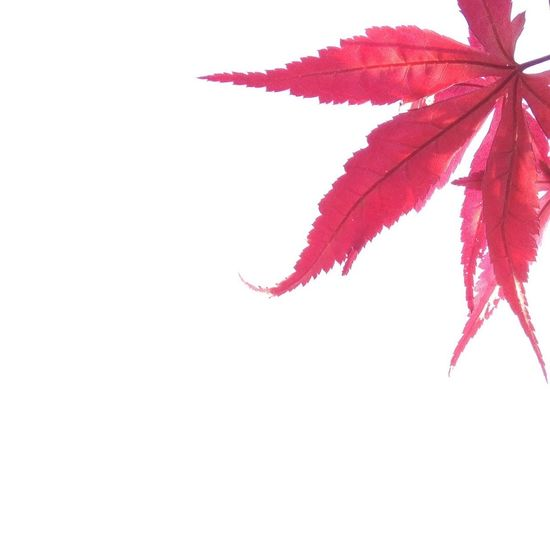 Leaves on red maple leaves