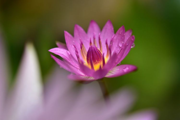 pink lillywater Flower Head Flower Water Crocus Lotus Water Lily Pink Color Water Lily Petal Beauty Purple Lotus Lily Pad In Bloom Plant Life Blossom Magenta Pollen Lily Blooming Botany Pond Floating