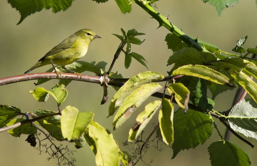 Prairie Warbler on blackberry bush Praire Warbler Animal Themes Animal Wildlife Animals In The Wild Beauty In Nature Bird Branch British Columbia Canada Close-up Day Green Color Growth Leaf Nature No People One Animal Outdoors Perching