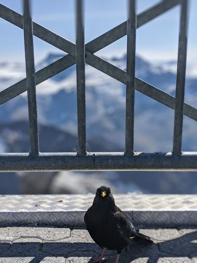 Close-up of crow perching on railing