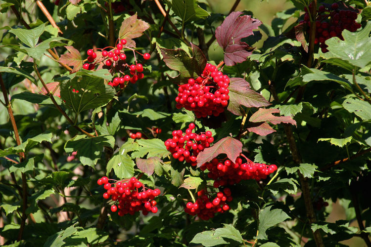 Beauty In Nature Botany Flussauen Fruit Nature Outdoors Red