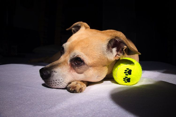 My Dog One Animal Canine Dog Pets Animal Animal Themes Domestic Mammal No People Ball Indoors  Close-up Animal Body Part Vertebrate Looking Away Domestic Animals Looking Home Interior Relaxation Bed