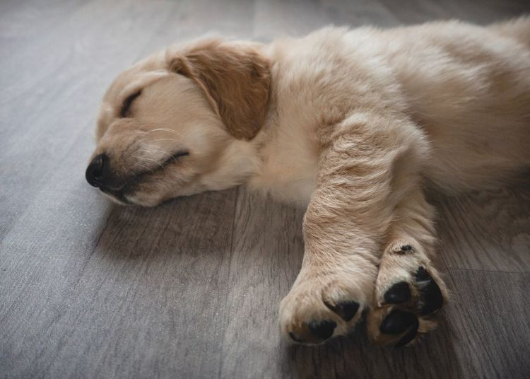 Paws Life Golden Retriever Home Fur Puppy Paws PuppyFace Beauty Everyday Lives Puppy Love Light One Animal Animal Themes Mammal Canine Animal Dog Pets Domestic Animals Close-up Sleeping Resting Indoors  Home Interior Relaxation