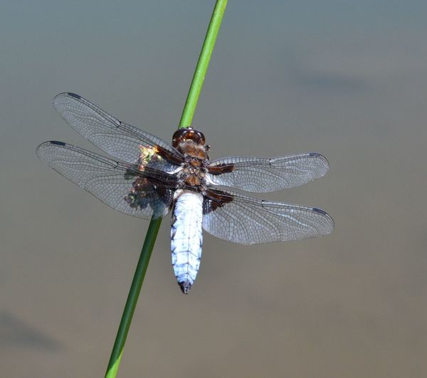 Close-up of libelle on twig