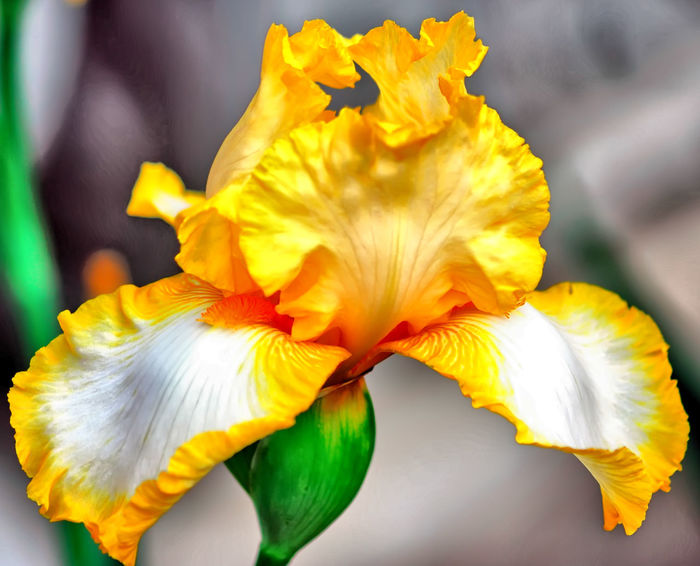 Iris Flower in all its glory... Beauty In Nature Bloom Blossom Botany Close-up Daffodil Day Flower Flower Head Flowers Focus On Foreground Fragility Freshness Growth In Bloom Iris Macro Nature No People Petal Softness Springtime Vibrant Color Yellow Yellow Color