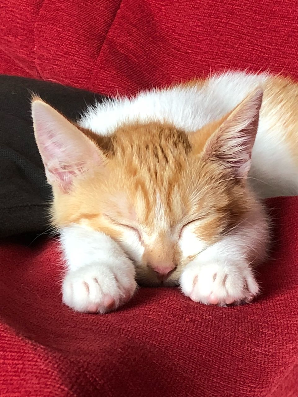 pets, domestic, cat, domestic cat, domestic animals, mammal, feline, relaxation, animal, one animal, animal themes, resting, red, furniture, vertebrate, sleeping, sofa, no people, indoors, close-up, whisker, napping