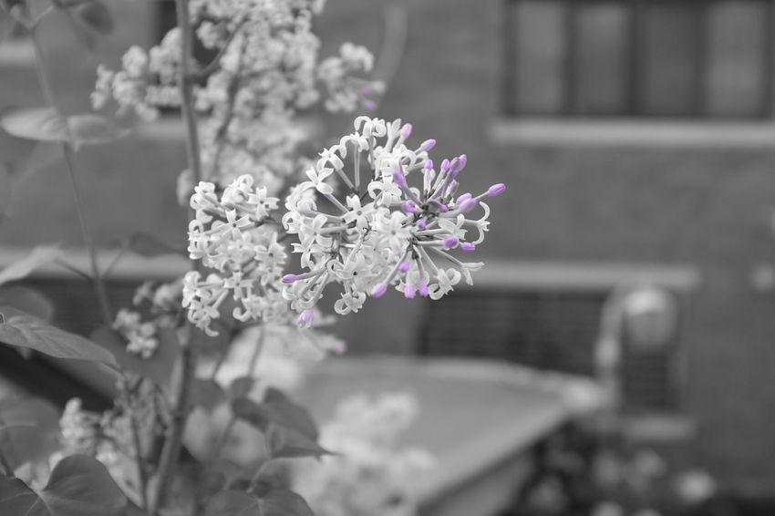 라일락 Fujifilm FujiX100T X100t Flowers Monopurple Monochrome Mono Bnw Snap Landscape