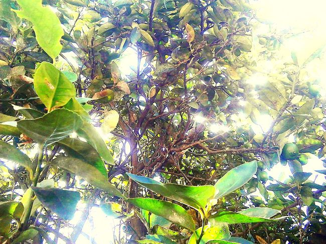 Tree Nature Plant Day No People Beauty In Nature Fruit Forest Sky Green Plant Greenleaves Lemon Tree Leaves Color Leaves Green Leaves🌿 Lemon