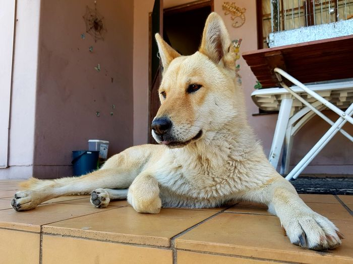 Gizmo the Wolf Dog Dog Dogslife Dogs Animal Mansbestfriend Furry Friends Wolfdog Dogs Of EyeEm South Africa Furry EyeEm Selects Pets Close-up Lion - Feline Big Cat Mane Door Knocker Roaring Carnivora