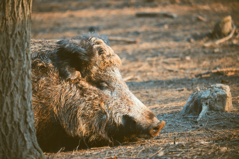 Close-up of wild boar resting by tree on field