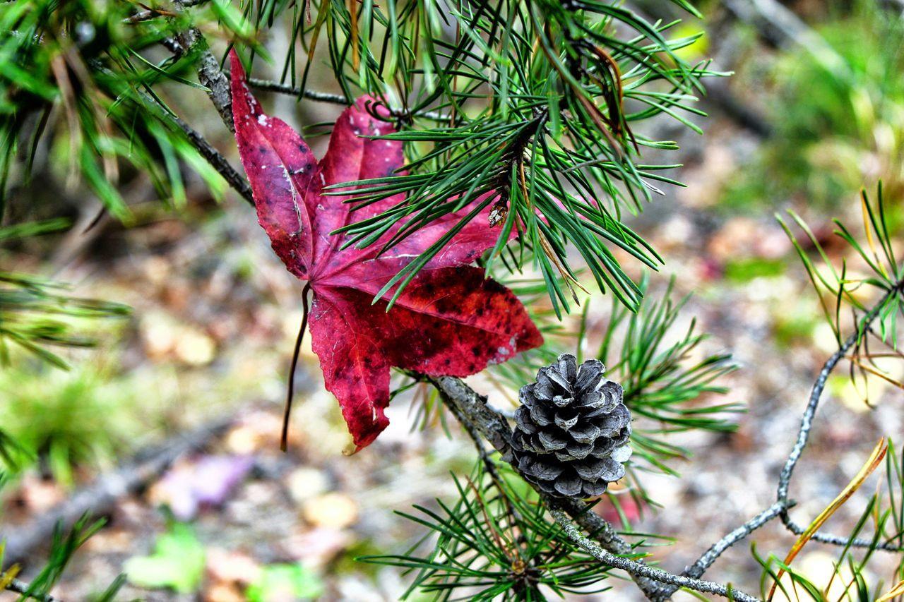 Red Leaf On Branch