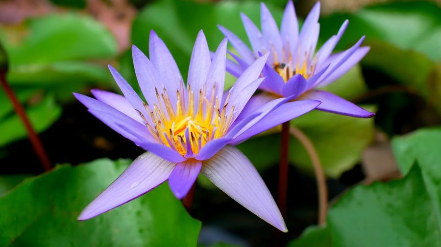 Water linly Flower Flowering Plant Petal Vulnerability  Plant Fragility Inflorescence Flower Head Beauty In Nature Close-up Water Lily