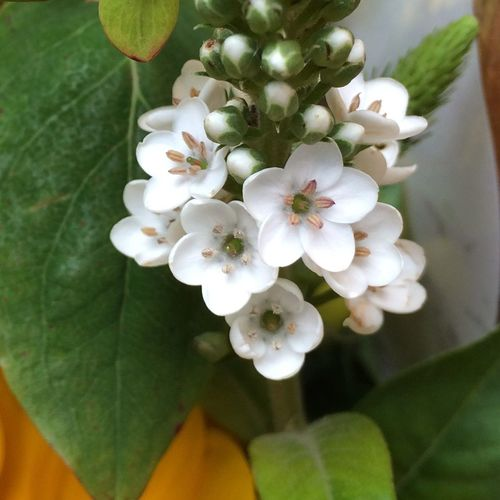 Flowers Plants Macro Macro Photography Macro_collection Blumen Macro Beauty Laurustinus Viburnum Tinus