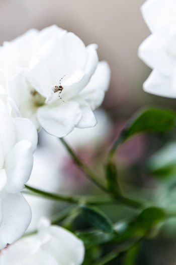 Arachnid Photography Spider Animal Themes Arachnid Beauty In Nature Close-up Flower Flower Head Insect Nature No People One Animal Petal Plant White Color