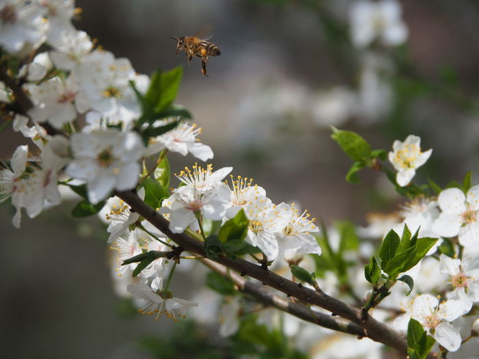 Close-up of bee pollinating on cherry blossom