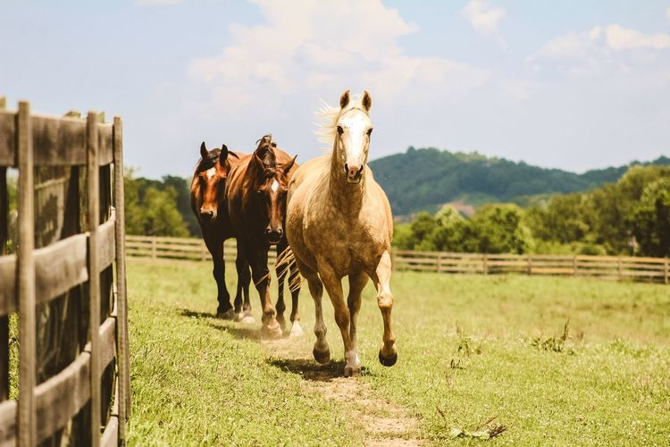 Horses in VA Horses Equine Mammal Animal Animal Themes Domestic Animals Domestic Livestock Pets Horse Field Animal Wildlife Nature Land Grass