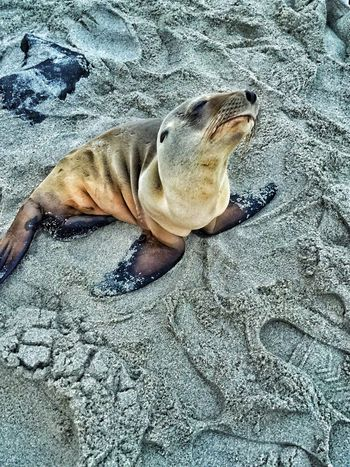 Baby Seal Look Who Stopped By So Cute Baby Animals San Diego IPhoneography Seal On The Beach Beachphotography Beach Life Salt Water Seal Pup Ready For My Close Up