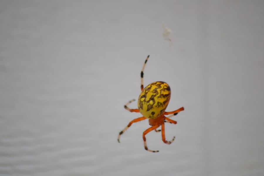 Are you eating your wheys and curds? Little Miss Muffet Do Not Eat Backyard Photography Beauty In Nature, Backyard Garden Little Brat Marbled Orb Weaver Isn't She Lovely? Isnt Nature Grand? Full Length Animal Leg Spider Close-up Arachnid Prey Web Spider Web This Is Natural Beauty
