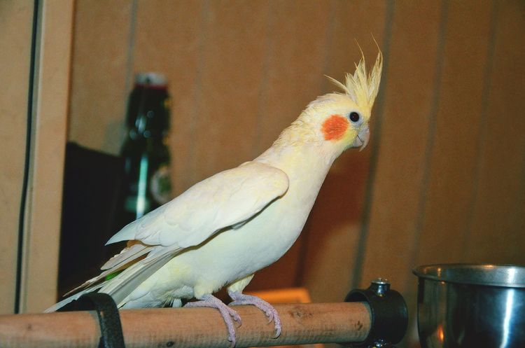 EyeEmNewHere Pets Valkparkiet She Is Lovely Indoors  One Animal Birds🐦⛅