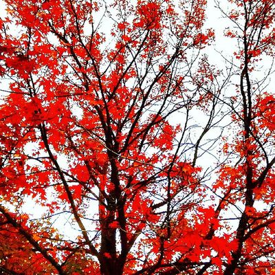 Autumn Beauty In Nature Branch Change Day Flower Growth Low Angle View Maple Tree Nature No People Outdoors Red Scenics Sky Tranquility Tree