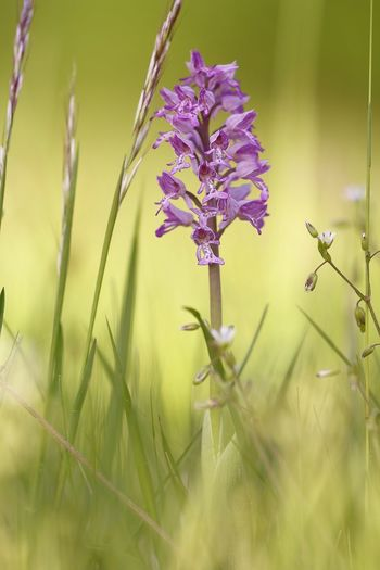 Orchis militaris, wild Orchid Beauty In Nature Blade Of Grass Close-up Day Field Flower Flower Head Flowering Plant Fragility Freshness Grass Green Color Growth Land Nature No People Outdoors Plant Plant Stem Purple Selective Focus Tranquility Vulnerability