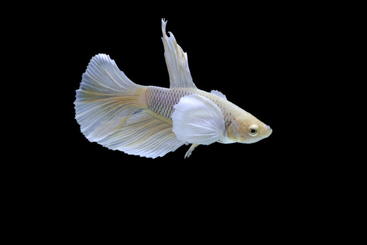Close-up of white fish against black background
