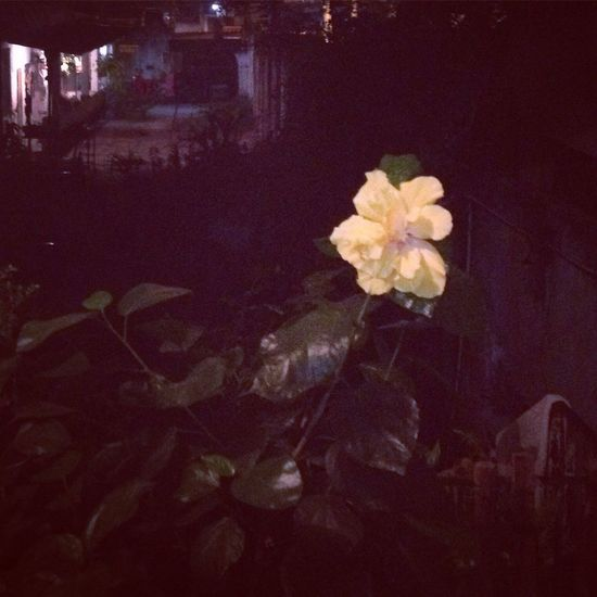 Brazil Flower Head Flower Night Nature Beauty In Nature No People