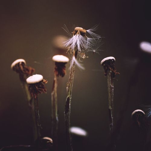 EyeEm Selects Flower Plant Flowering Plant Fragility Growth No People Vulnerability  Beauty In Nature Nature Plant Stem Close-up Focus On Foreground Freshness Dandelion Uncultivated Softness Dandelion Seed Outdoors Day Selective Focus