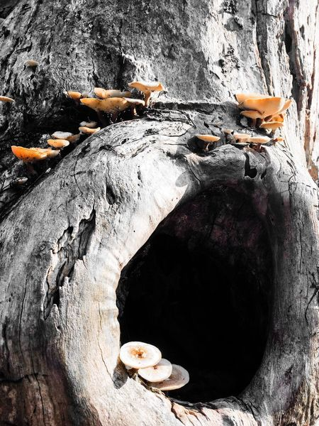 Dry Fungus On Tree Fungus Fungal Hole In The Tree Wood Tree Trunk Wooden Texture Nature Day No People High Angle View Outdoors Close-up Wood - Material Textured  The Still Life Photographer - 2018 EyeEm Awards