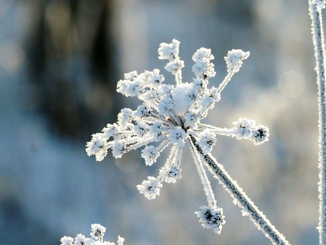 Snow Covered Beautiful Nature Frozen Plant Cold Weather Ice Crystals Iced Winter Nature Day Frozen Nature Nature Beauty Naturephotography Winter Snow Cold Temperature Frozen Snowflake Ice Close-up Nature Christmas Outdoors Beauty In Nature Ice Crystal Shades Of Winter