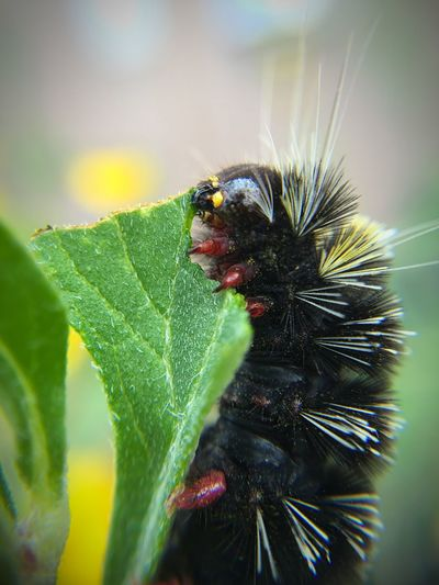 """""""Breakfast 24/7"""" I was unable to identify this specific caterpillar but they are voraciously devouring the small wild sunflowers around my house. Close-up Caterpillar Caterpillars  Nature Nature Photography Newmexico Newmexicophotography Macro Macro_collection Macro Photography"""