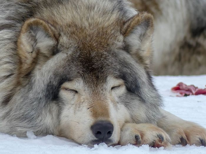 Close-up of a grey wolf on snow