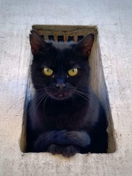 I'm the boss Animal Animal Eye Black Black Cat Black Color Boss Cat Cat Close-up Domestic Cat Mammal Yellow Eyes